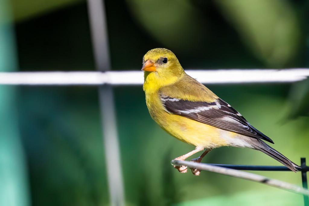 Goldfinch in the Garden by jyokota