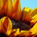 Sunflower by seattlite