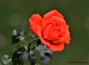 17th Jul 2020 - One of our lovely roses