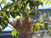 6th Jul 2020 - Minor Birds Nesting
