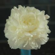 15th May 2020 - Peony bloom