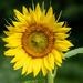 Full On Sunflower by marylandgirl58
