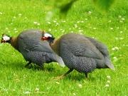 4th Jul 2020 - Guinea Fowl-Play