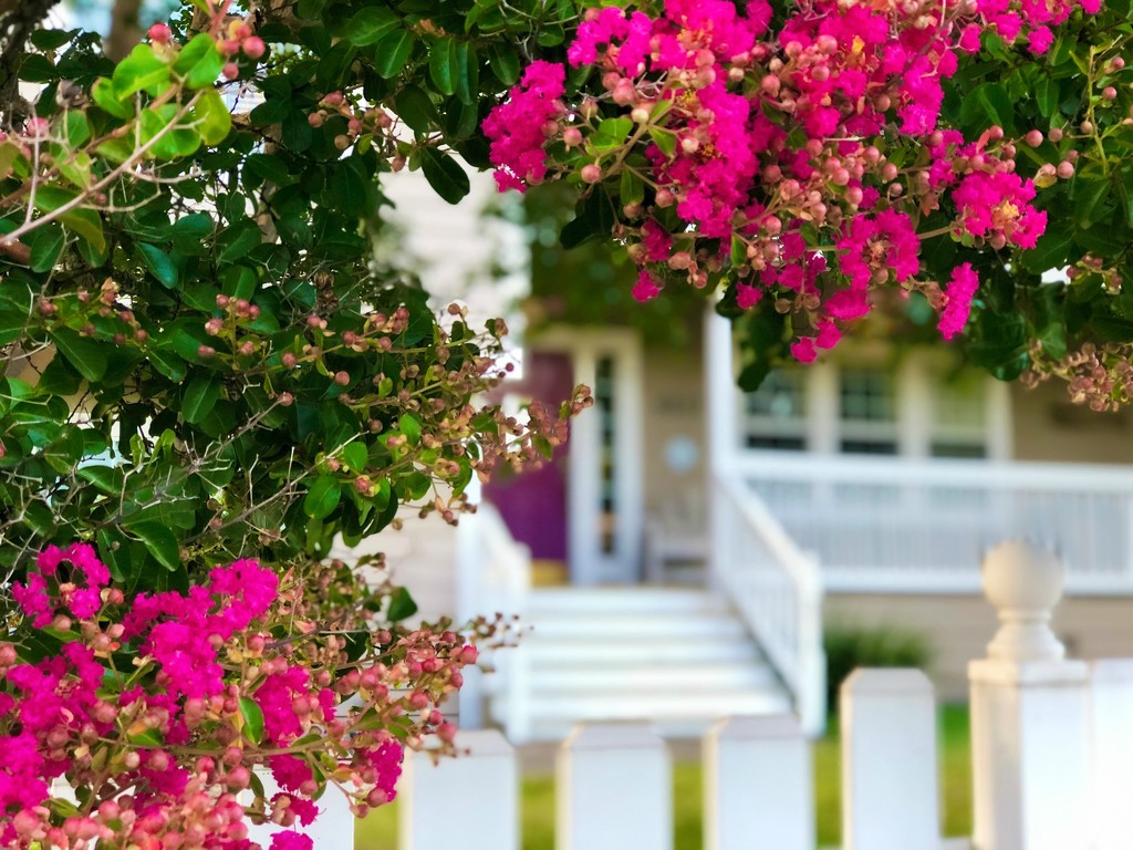Crepe Myrtle Blossoms Line the Drive by gardenfolk