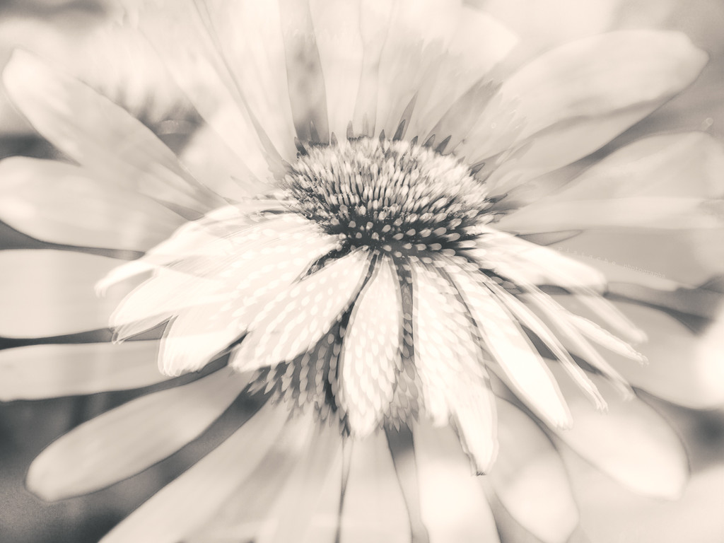 the many-layered coneflower by pistache