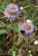 15th Jul 2020 - bumblebees in a thistle