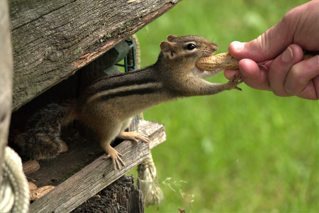 Chipmunk and Peanuts by radiogirl