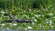 18th Jul 2020 - wood ducks