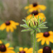 Black-Eyed Susans by paintdipper