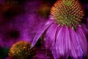 18th Jul 2020 - Purple Haze
