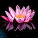Water Lilly by rjb71