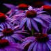 Coneflowers by tosee
