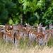 Doe a Deer  by carole_sandford