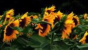 17th Jul 2020 - Sunflowers