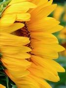 18th Jul 2020 - Sunflower