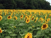 19th Jul 2020 - Sunflower Field