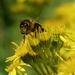 RAGWORT AND BEE by markp