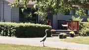 16th Jul 2020 - Heron at home
