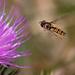 Hornet by mave