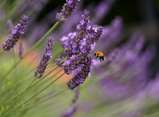 19th Jul 2020 - Lavender Bokeh - Vintage Helios 44M-2 lens