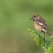Stonechat by inthecloud5