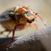 Hissing Beetle (June Beetle)