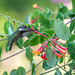 Hummingbird and Trumpet Flower by marylandgirl58