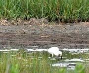 19th Jul 2020 - Egret in the marsh