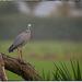 Wet Heron