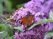 18th Jul 2020 - Peacock Butterfly