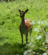 19th Jul 2020 - Fallow Deer