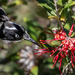 New Holland Honeyeater  by glendamg