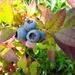 Blueberries  by beryl