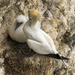 Gannet and Chick by shepherdmanswife