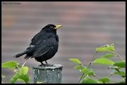 20th Jul 2020 - A rather scruffy blackbird