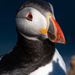 Puffins Galore by lifeat60degrees