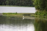 20th Jul 2020 - Great White Egret, Paimpont Lake