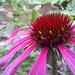 Echinacea by judithdeacon