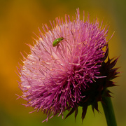 20th Jul 2020 - musk thistle with northern corn rootworm