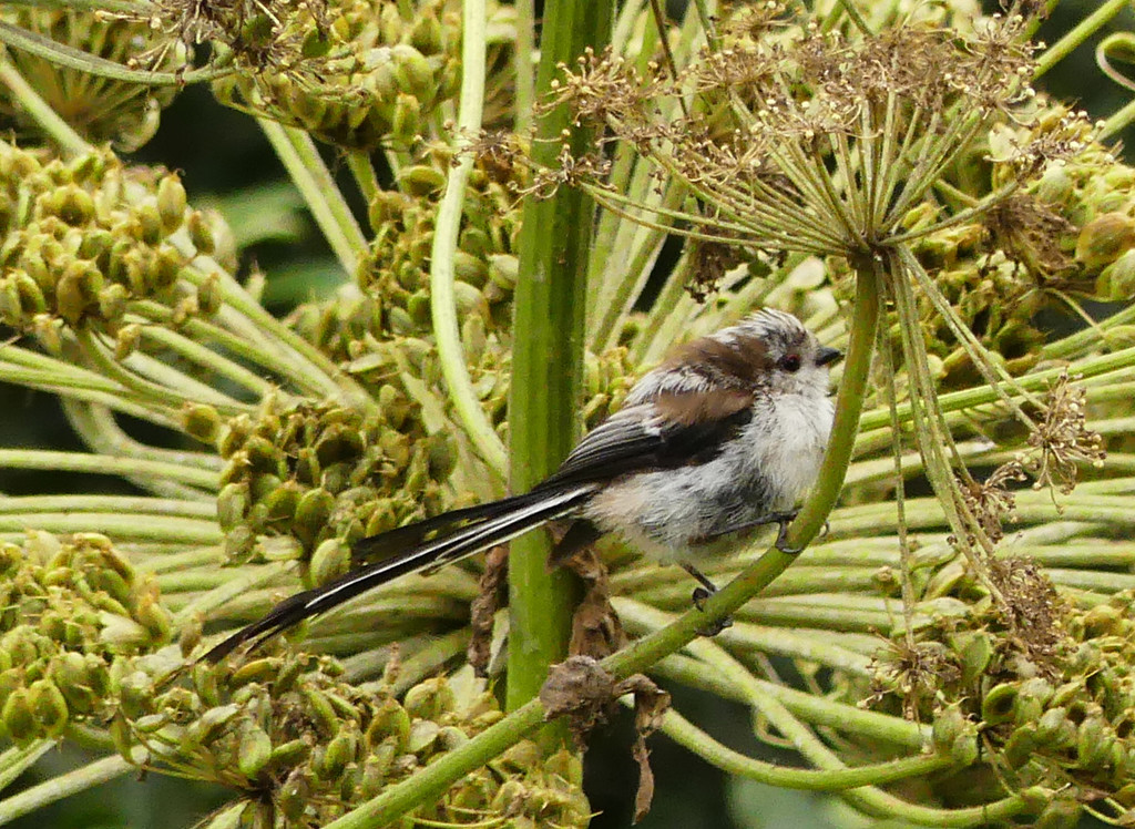 Long-tailed tit by janturnbull