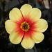 """Dahlia """"Sunshine"""" by neiljforsyth"""