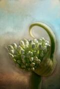 20th Jul 2020 - Onion Blossom