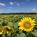 Sunflower Field by lsquared