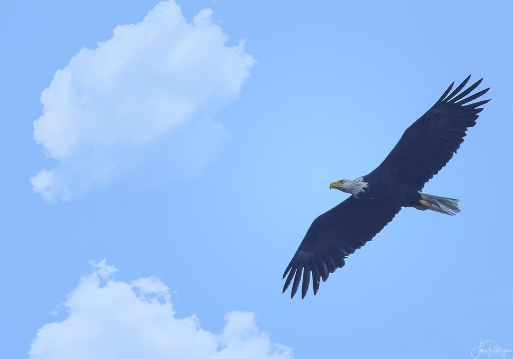 Eagle Flying  by jgpittenger