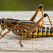 Eastern Lubber Grasshopper! by rickster549