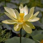 21st Jul 2020 - American lotus