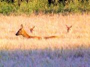 19th Jul 2020 - Oh deer! Oh deer! Oh deer!