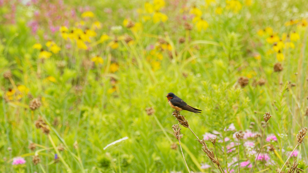 cliff swallow and wildflowers by rminer