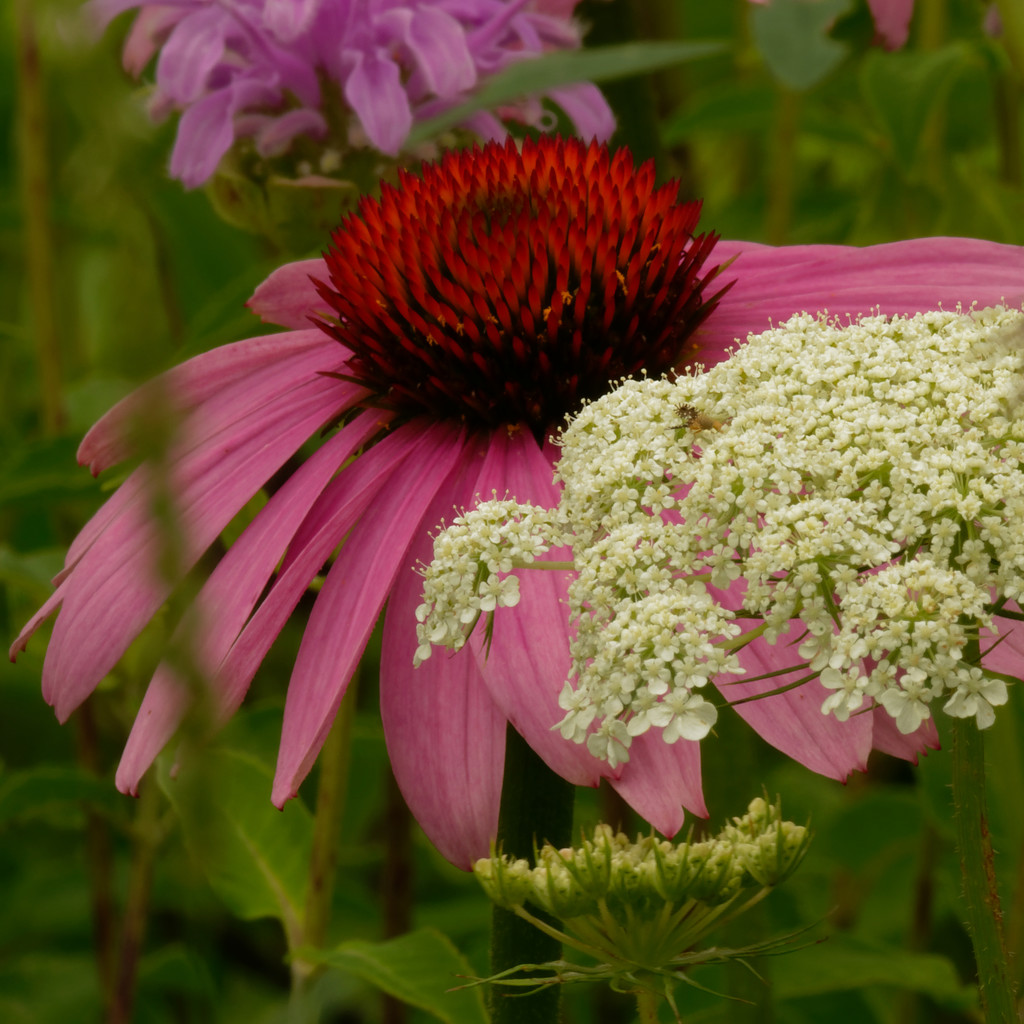 pale purple coneflower and Queen Anne's Lace by rminer