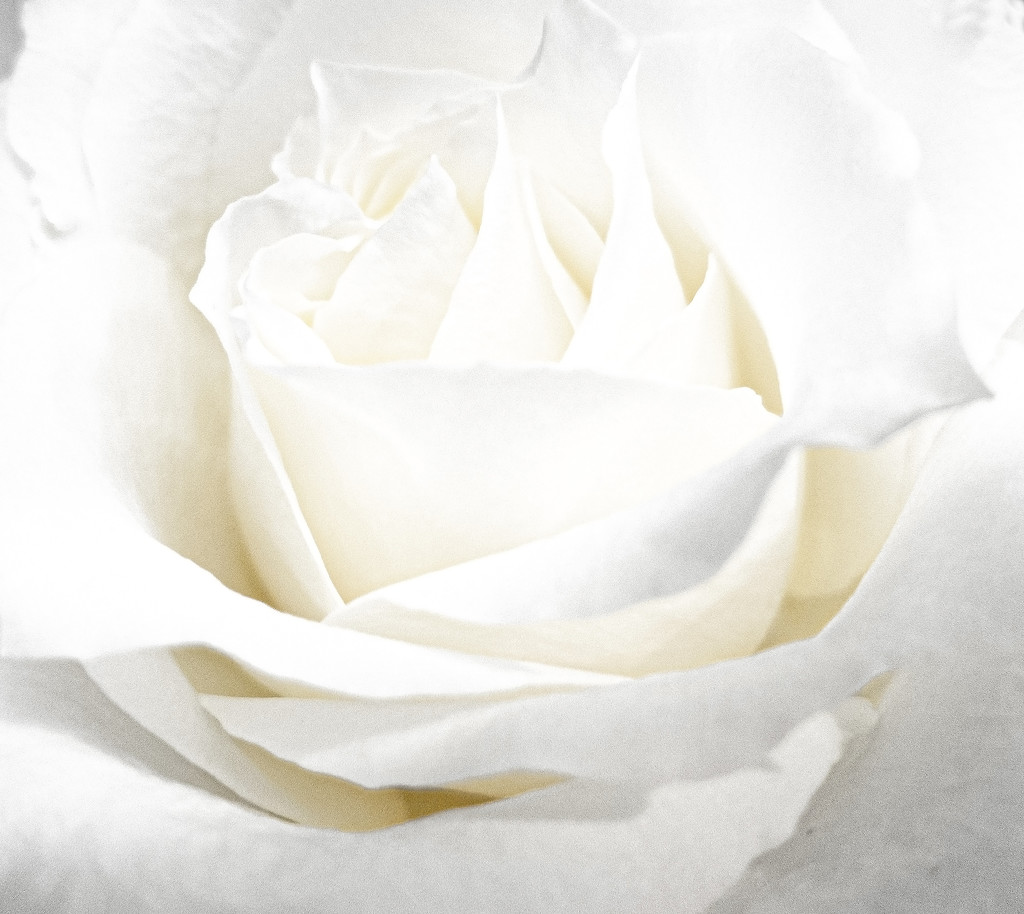 Bright White Rose by timerskine